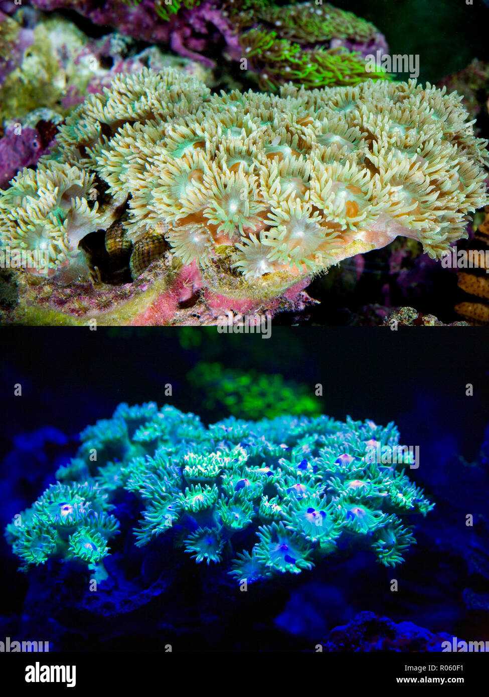 Fluorescent coral. Disc coral, Turbinaria peltata. Above photographed with daylight and bellow showing fluorescent colours photographed under special  Stock Photo