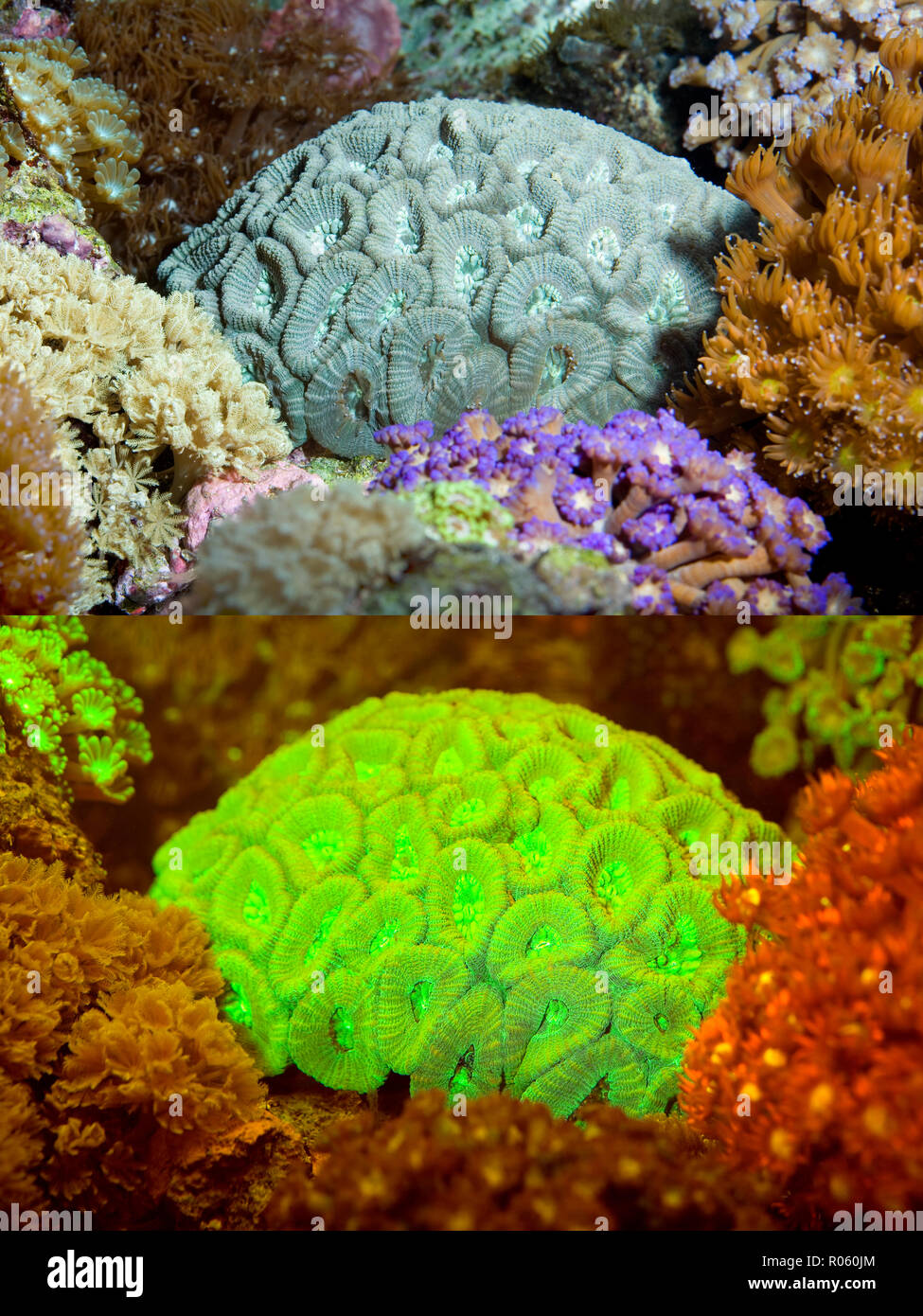 Fluorescent coral. Stony Coral, Favia sp.. Above photographed with daylight and bellow showing fluorescent colours photographed under special blue - Stock Image