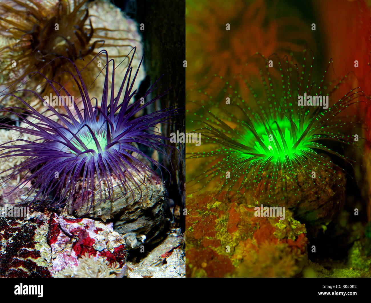 Fluorescent tube-dwelling anemone, Cerianthus sp.. Left photographed with daylight and right showing fluorescent colours photographed under special - Stock Image