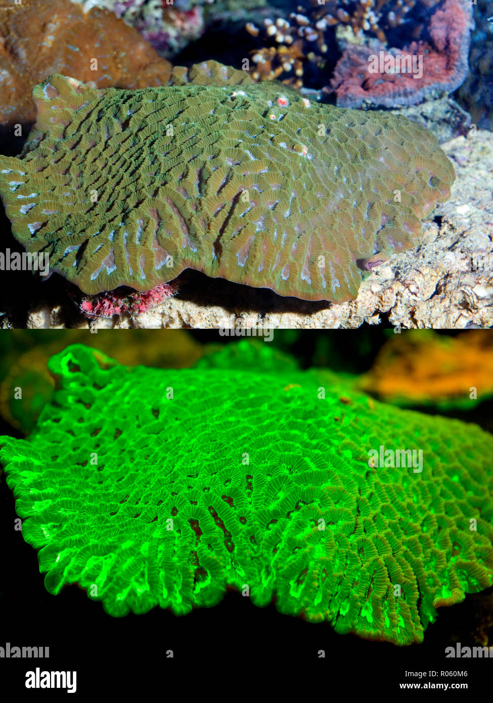 Fluorescent coral. Stony Coral, Goniastrea sp.. Above photographed with daylight and bellow showing fluorescent colours photographed under - Stock Image