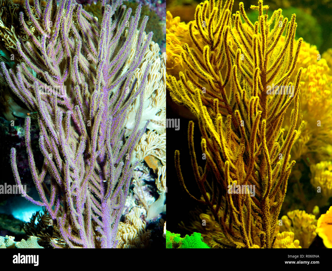Fluorescent coral. Gorgonian coral. Left photographed with daylight and right showing fluorescent colours photographed under special blue or Stock Photo