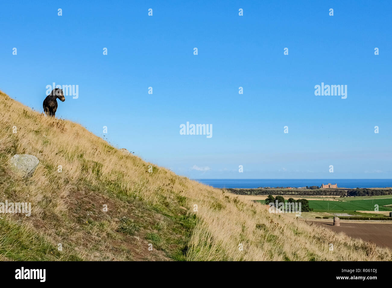 Scottish pony, on side of North Berwick Law, crag and tail hill, views to Tantallon Castle and Firth of Forth, North Berwick, Scotland, UK Stock Photo