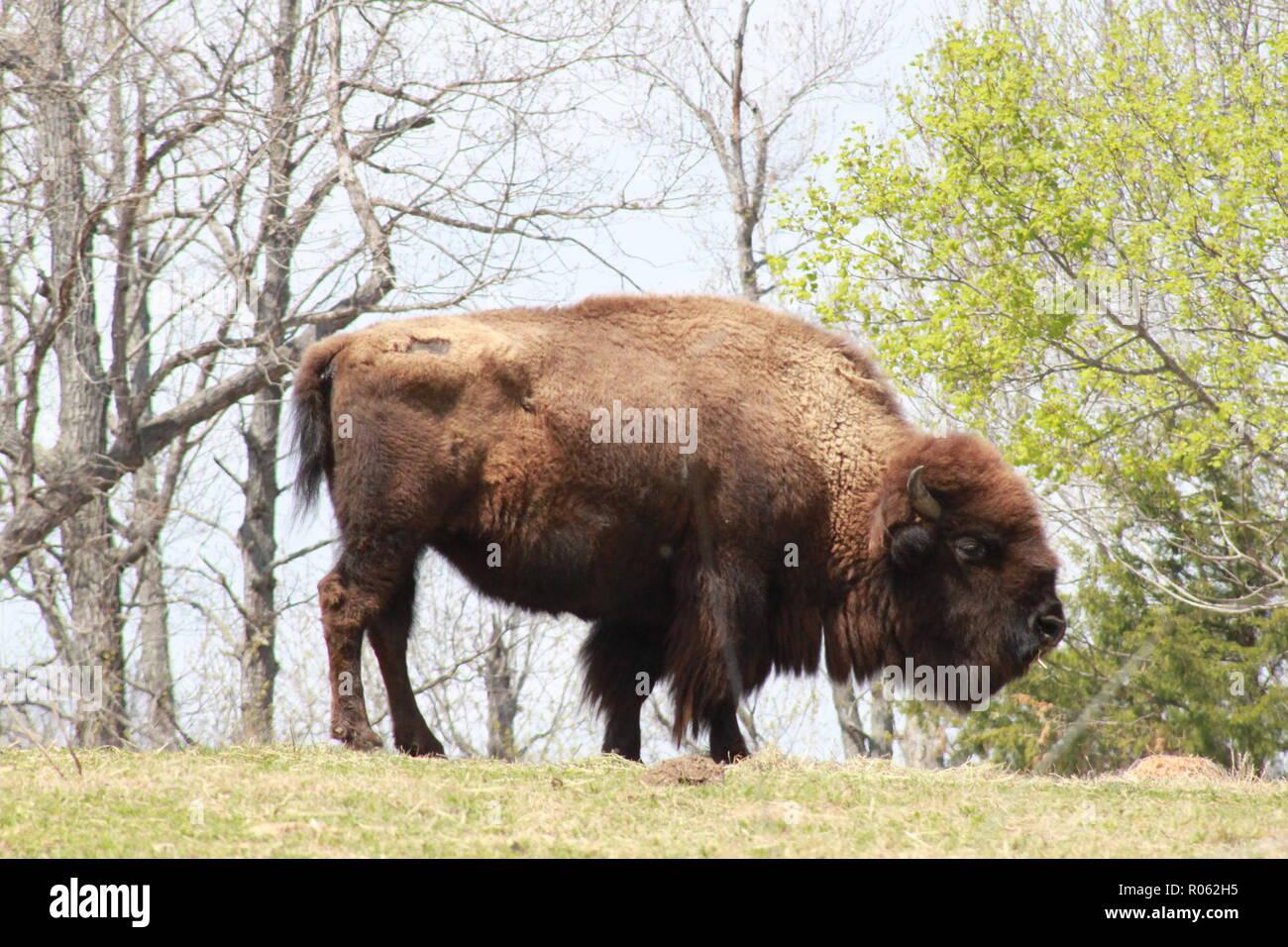 American Buffalo standing at the North Carolina Zoological Park in Asheboro, NC - Stock Image