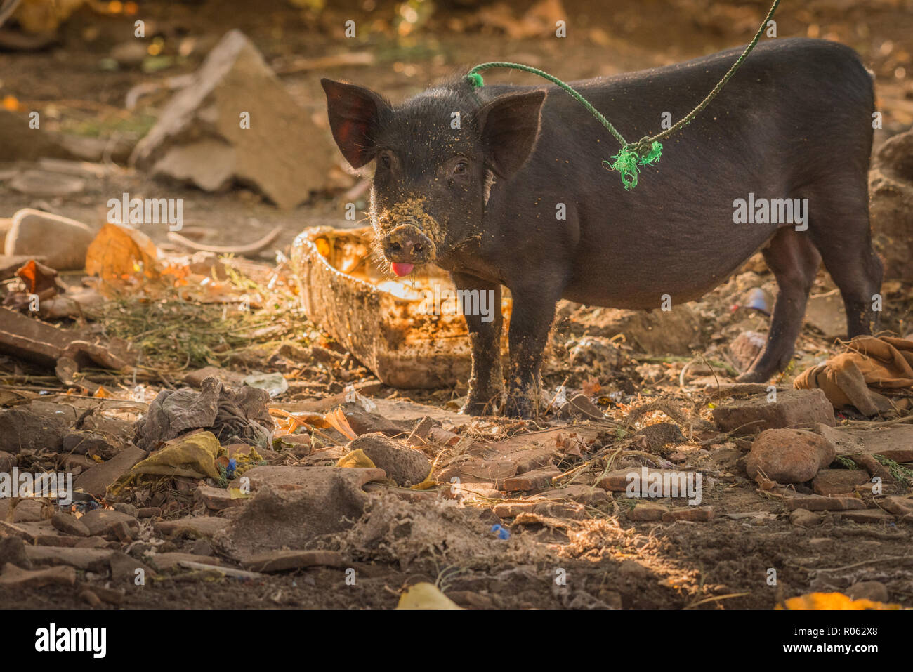 Cute piglet eating porridge for breakfast looking up with tongue sticking out - Stock Image