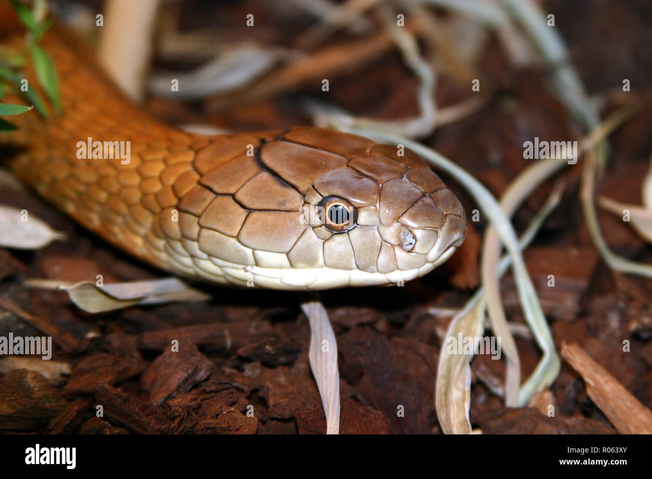 Elapidae, venomous snake - Stock Image