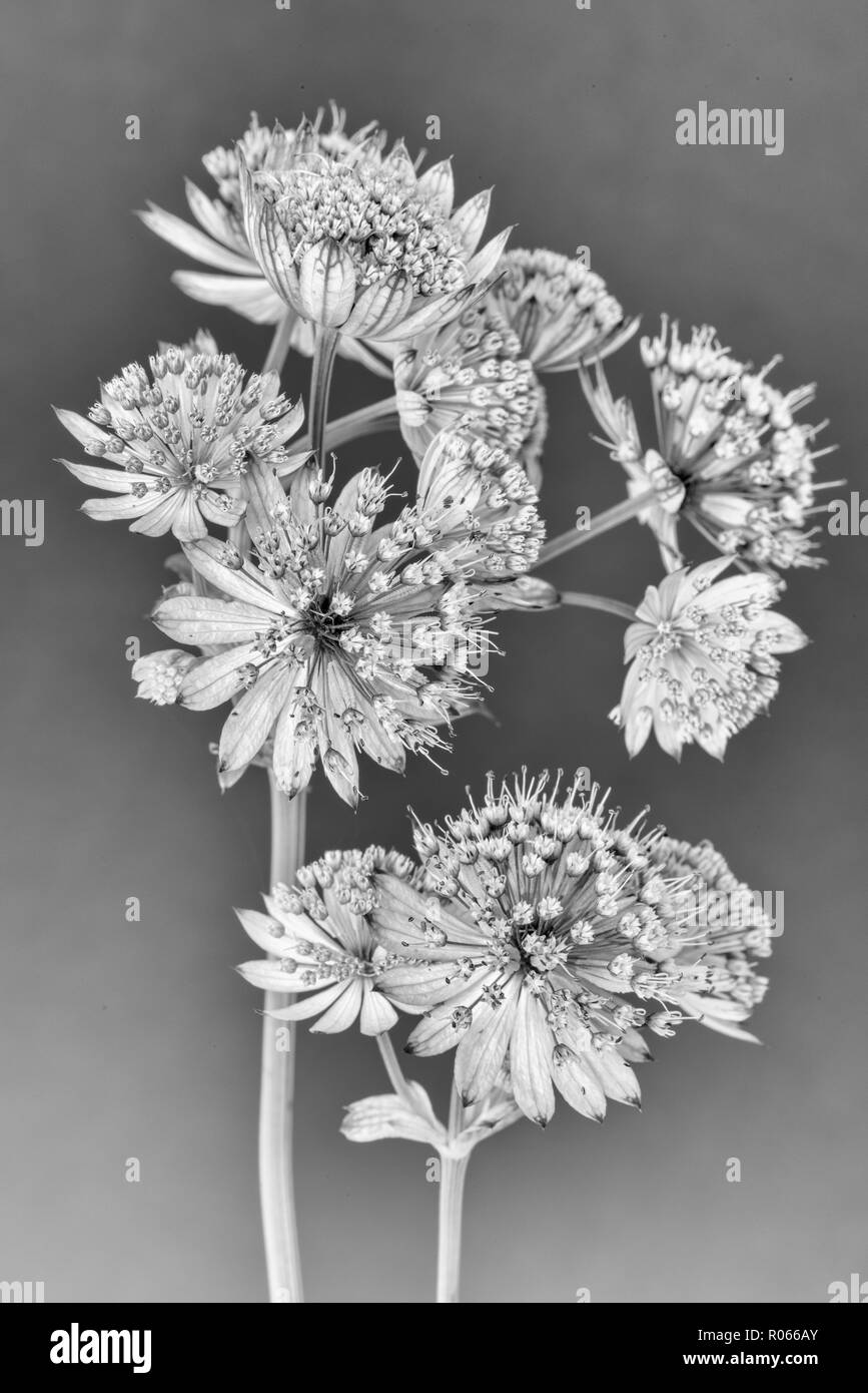 Fine art still life floral monochrome macro of isolated flowering stems of astrantia blossoms on gray paper background with detailed structure - Stock Image