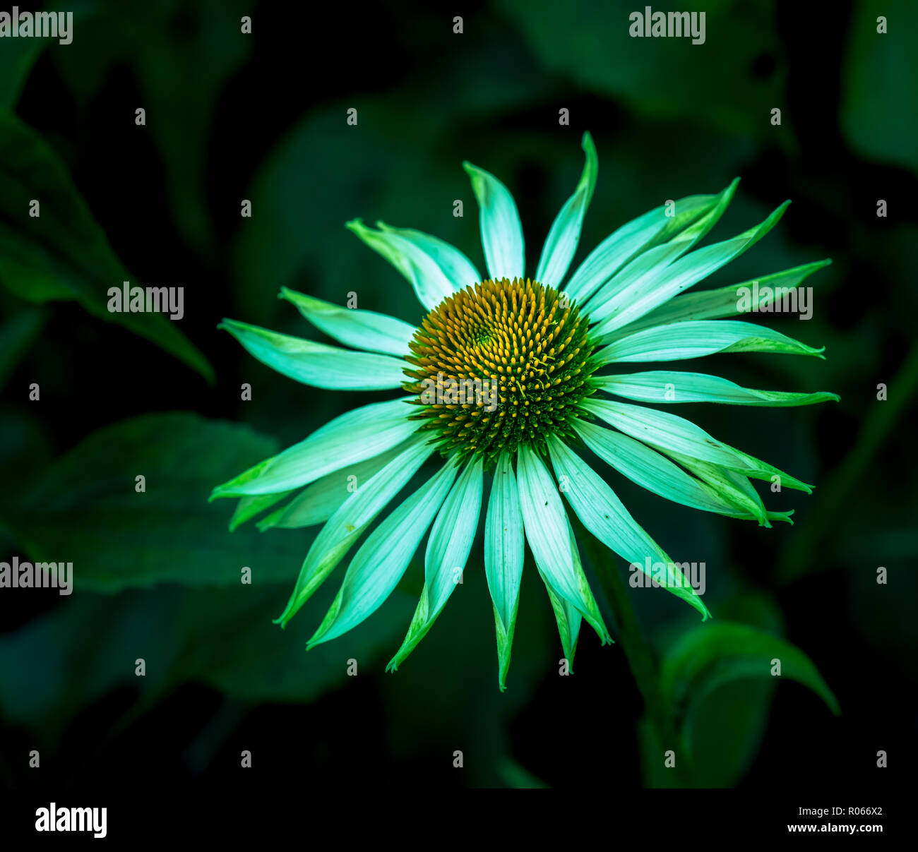 Surrealistic green neon colored outdoor floral macro of a wide open white yellow coneflower/echinacea blossom on natural blurred colorful background - Stock Image