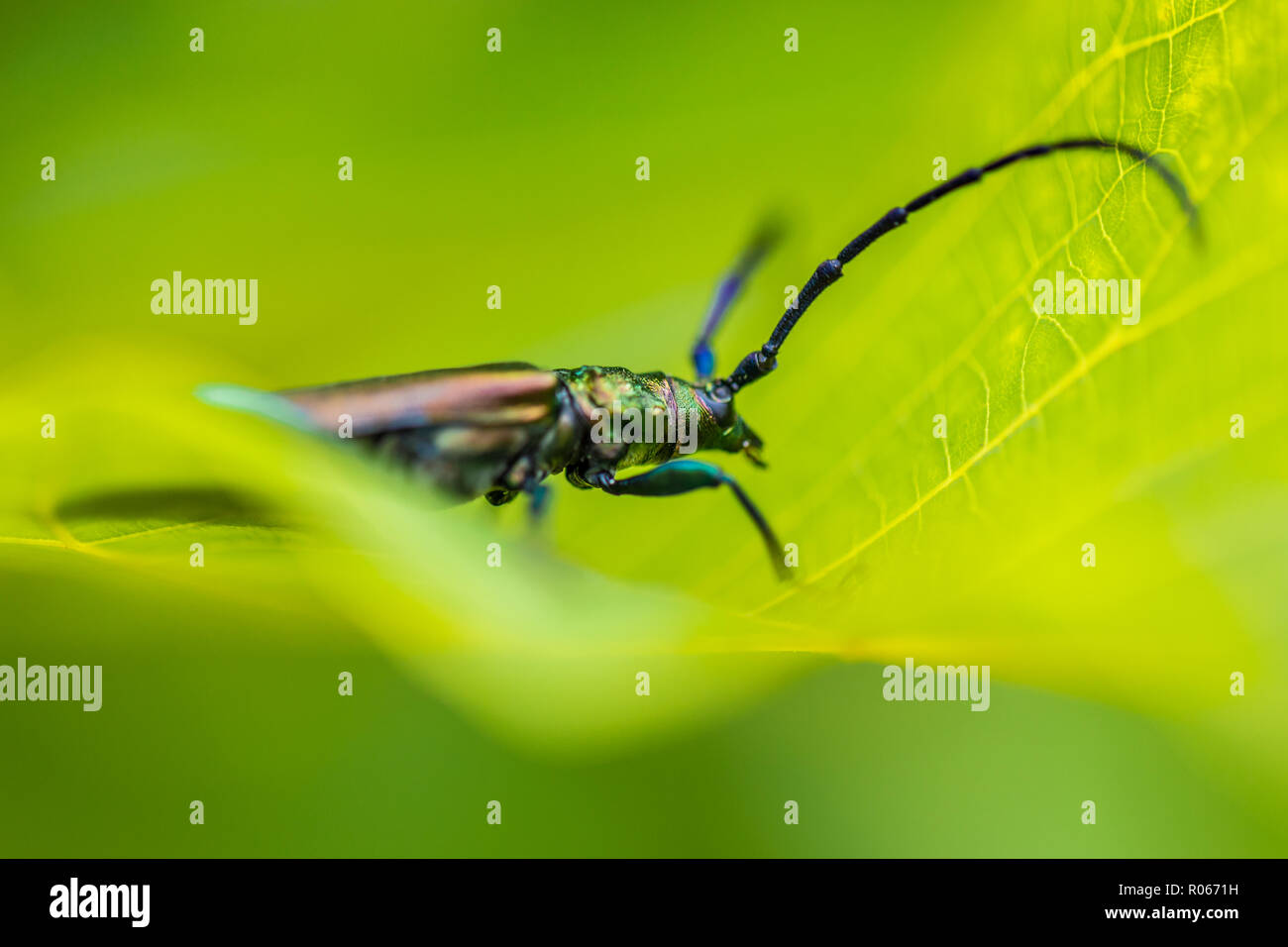 Huge insect on green leaf, nature background, wildlife concept. Macro image with details - Stock Image