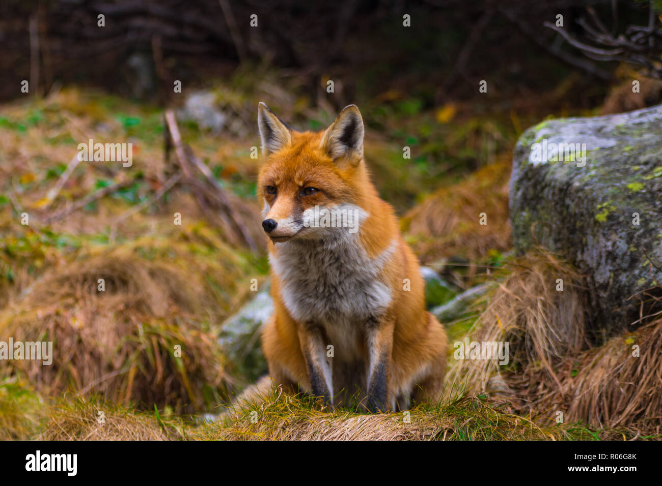 Capture of fox watching for something to eat. Slovakia Stock Photo
