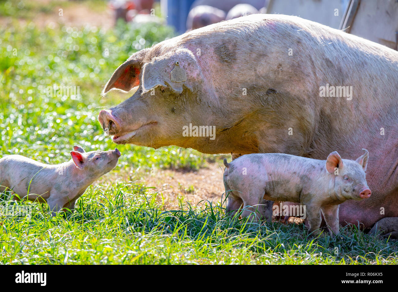 A baby piglet looks to his sow mum for comfort on a free range pig farm in New Zealand - Stock Image