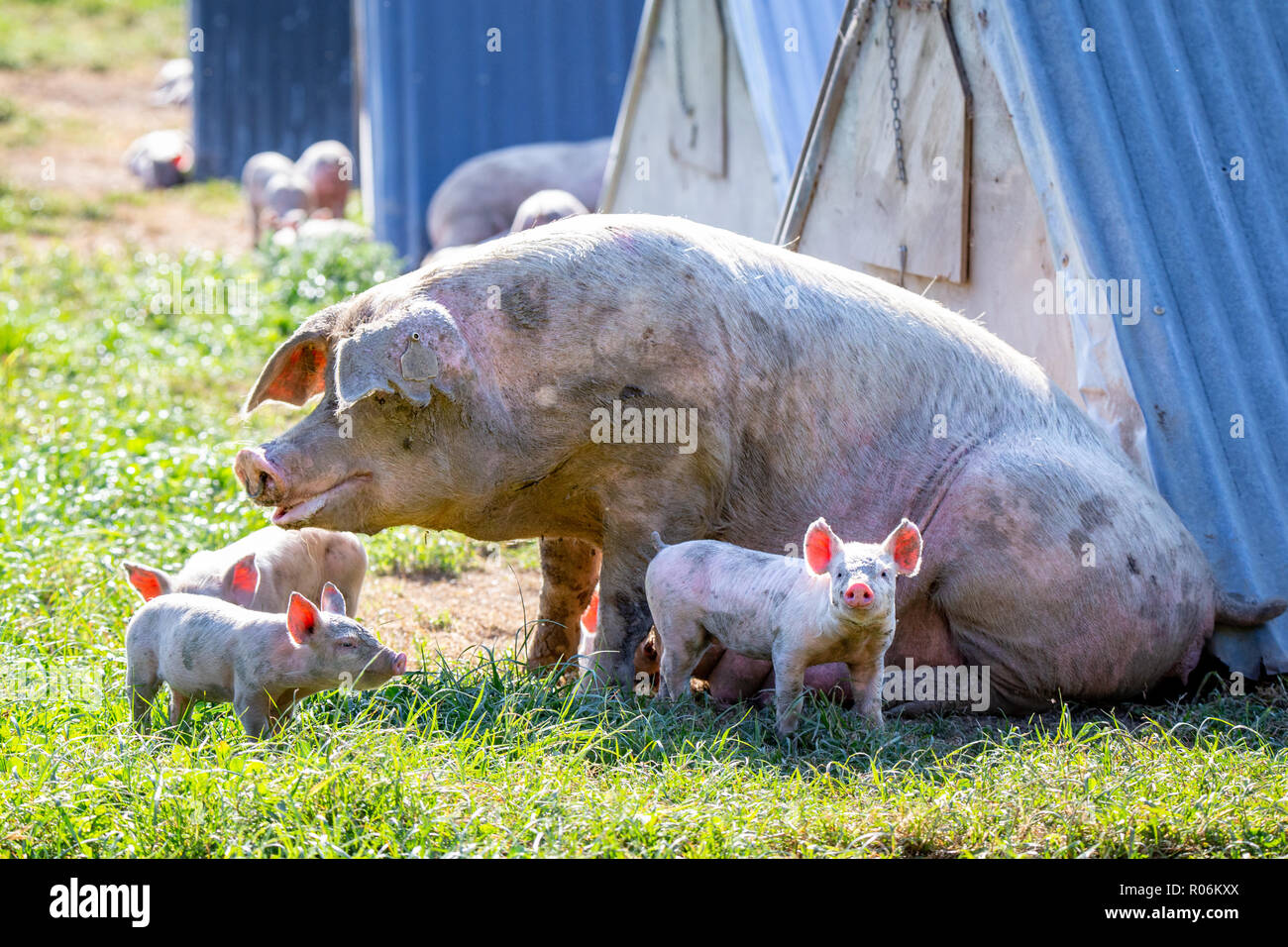 Piglets with their mother on a free range pig farm in New Zealand - Stock Image