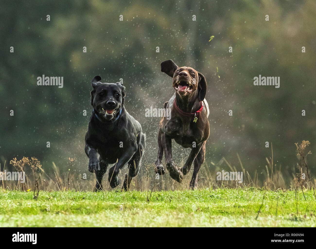 A Black Labrador and a German Pointer running together on wet grass. - Stock Image