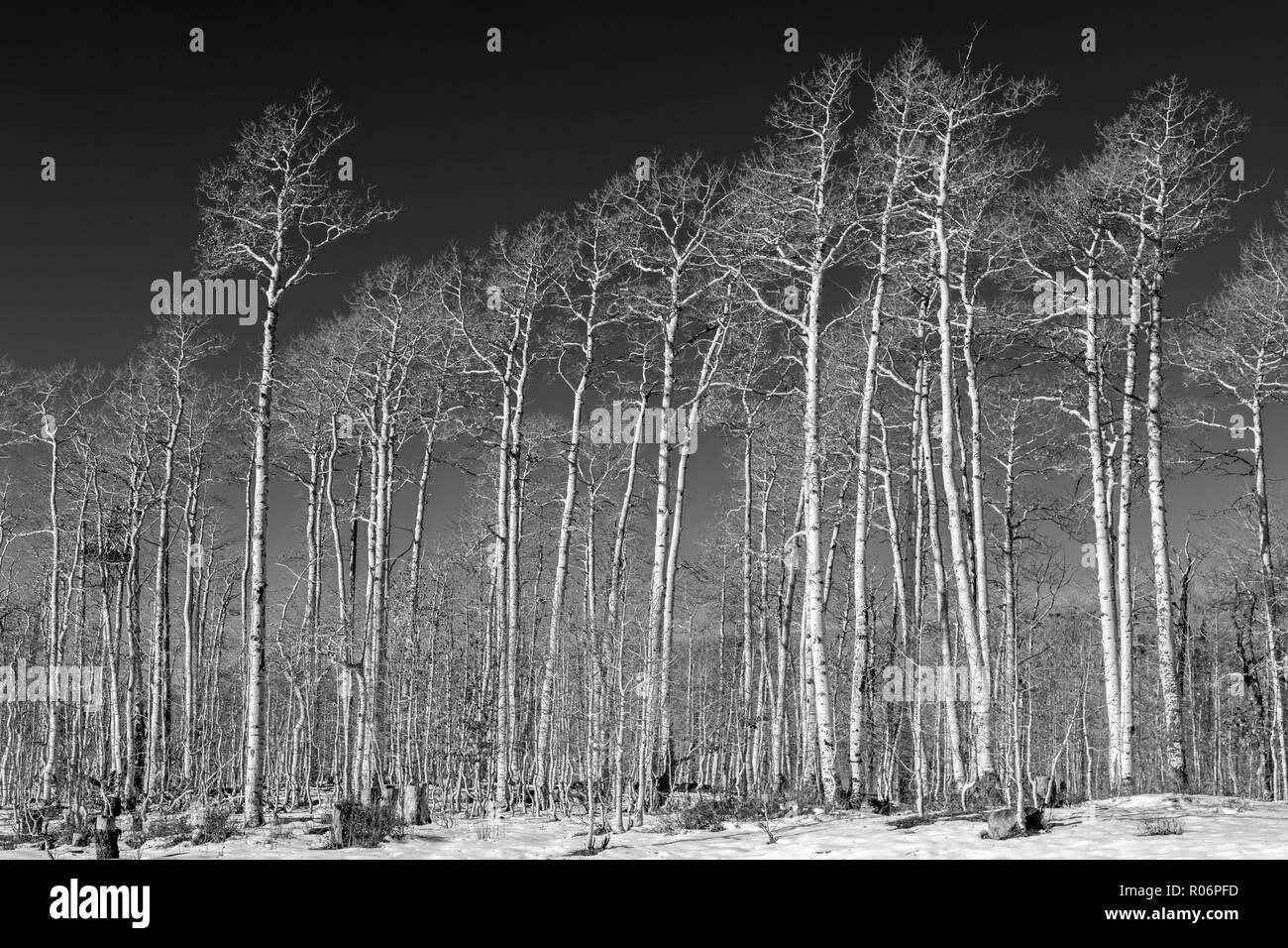 Winter Aspen - Southern Utah Mountains - Stock Image
