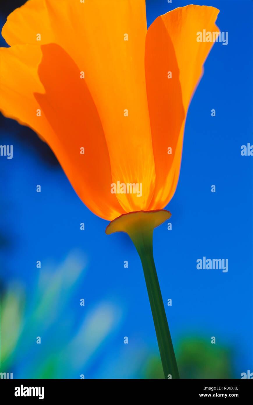 Close-up of a California poppy (Eschscholzia californica), Santa Barbara, California, United States of America, North America - Stock Image