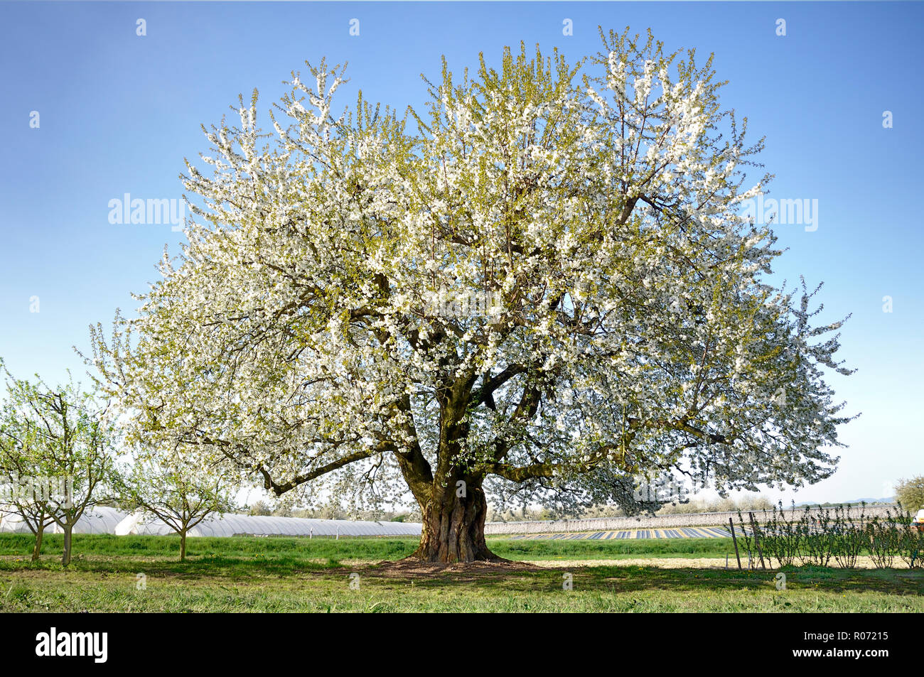 cherry blossom tree in spring - Stock Image