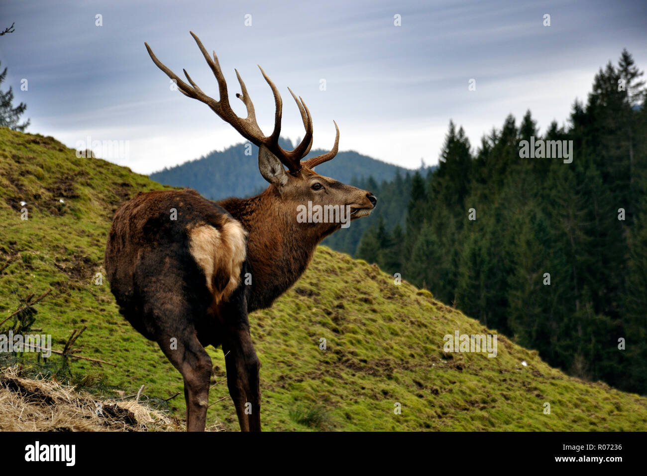 Deer with majestitic horns in the black fores Stock Photo