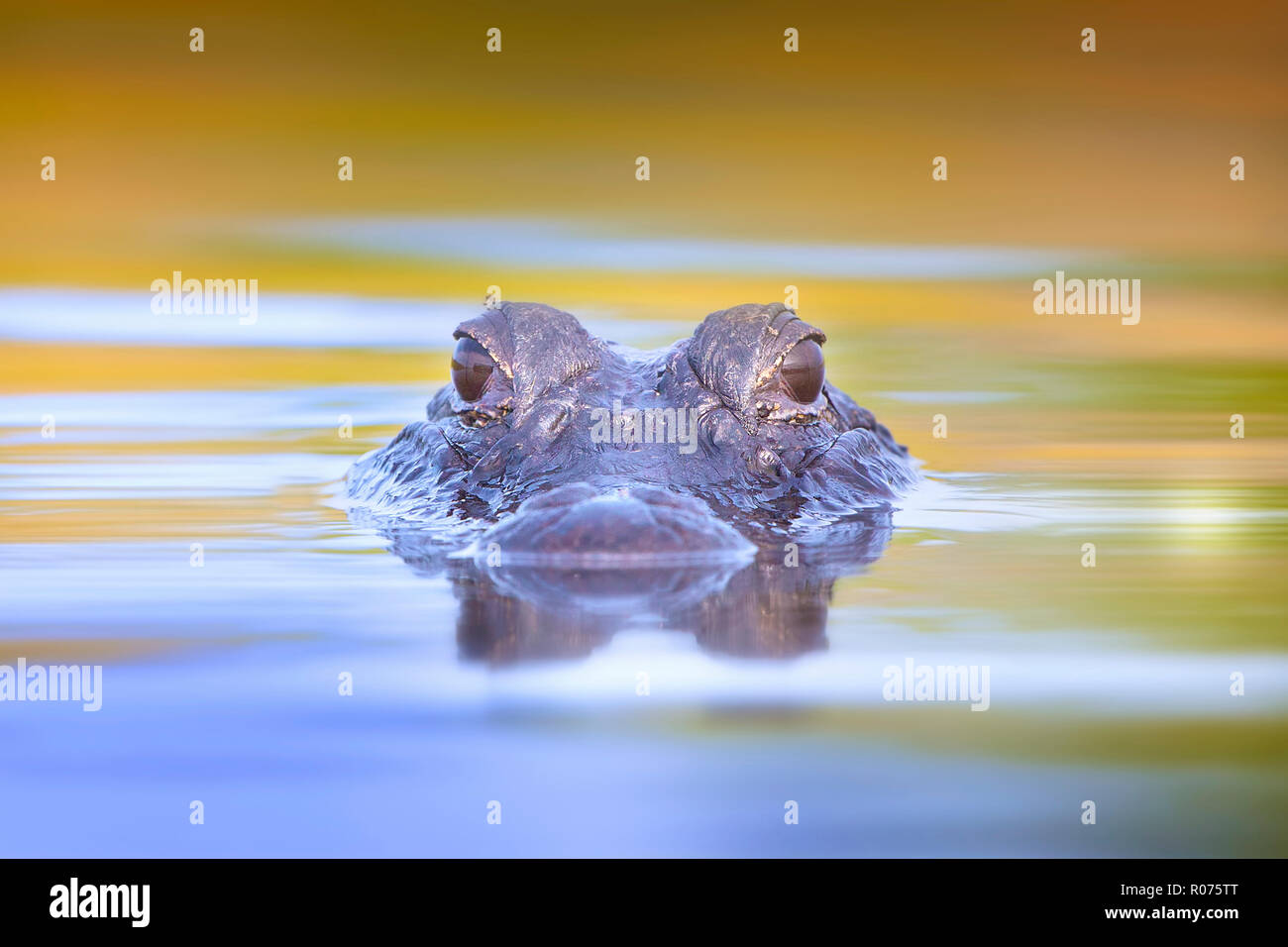 A juvenile American Alligator surfaces in the Florida Everglades. - Stock Image