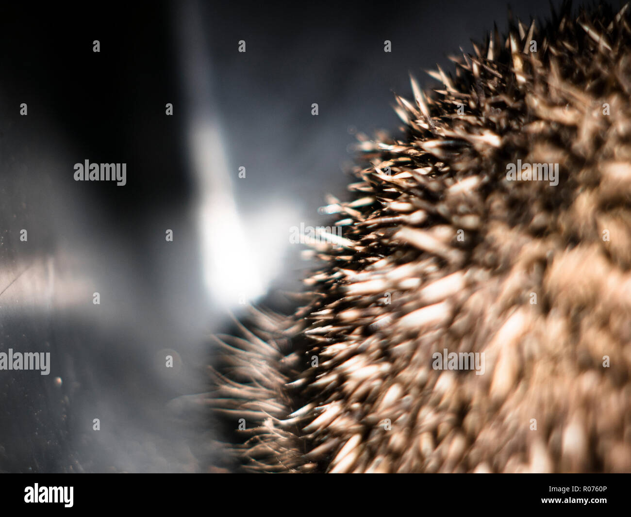 snout detail of a scared hedgehog - Stock Image