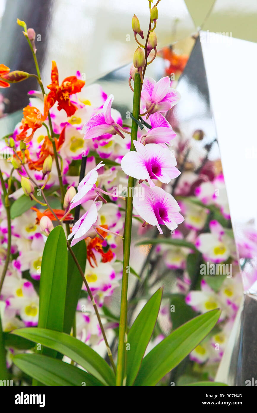 holiday background with close up white and purple orchid flowers and reflection - Stock Image