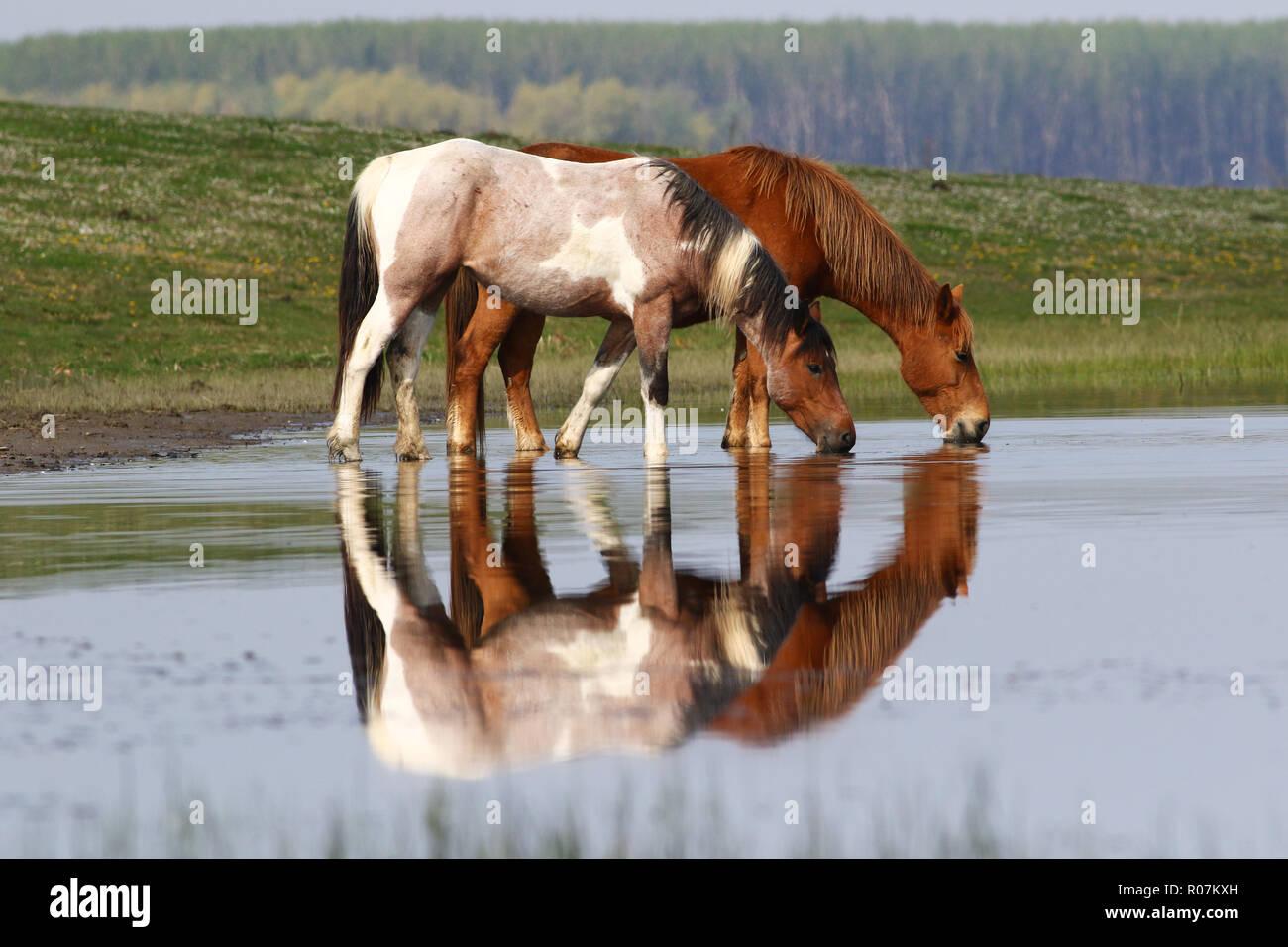 Two Wild Beautiful Horses Drinking Water Stock Photo Alamy