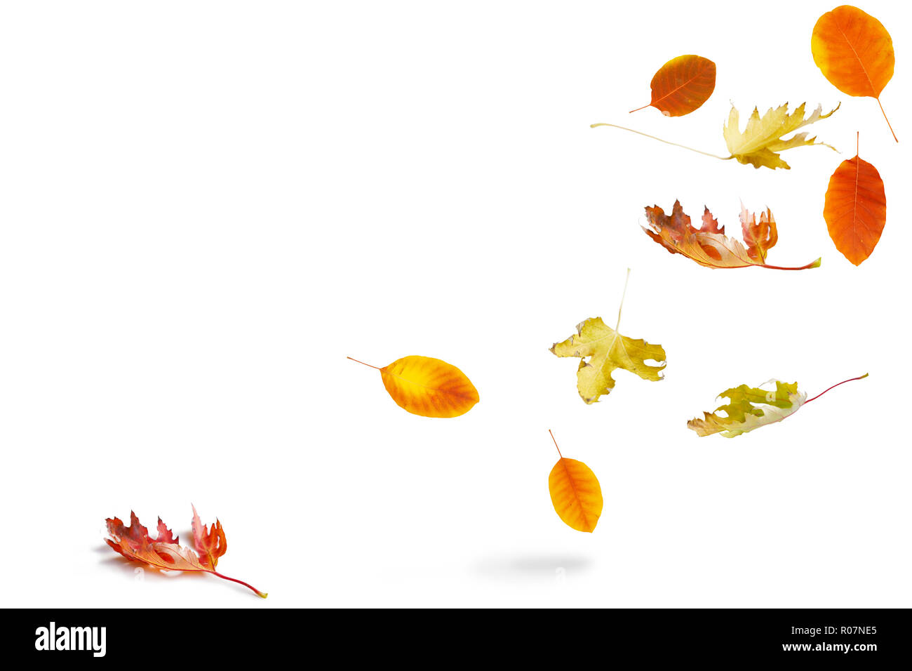 Beautiful red and yellow maple leaves falling on white