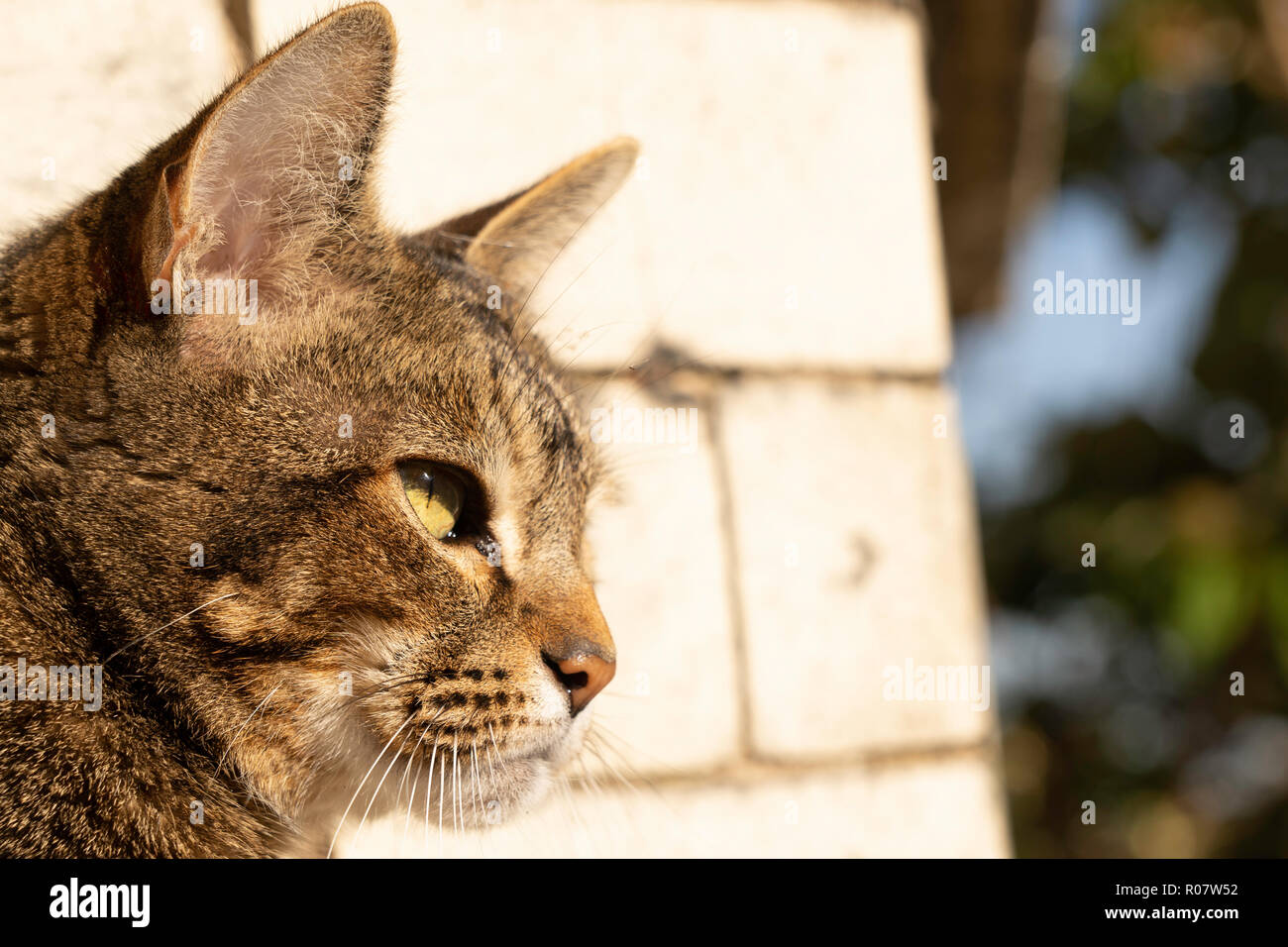 Tabby Cat outdoor portrait. - Stock Image