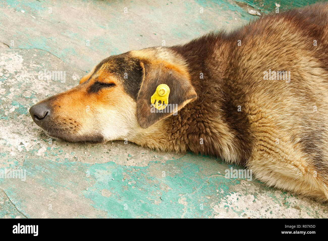 A head of castrated rambling dog labeled in the ear - Stock Image