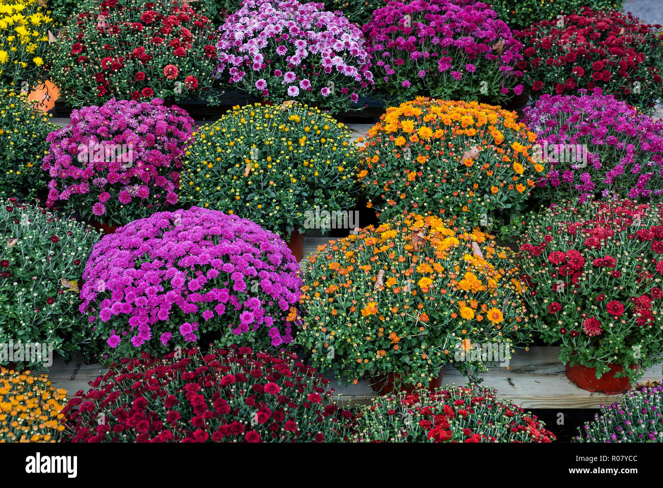 Variety of healthy mums for sale, Deleware, USA. - Stock Image
