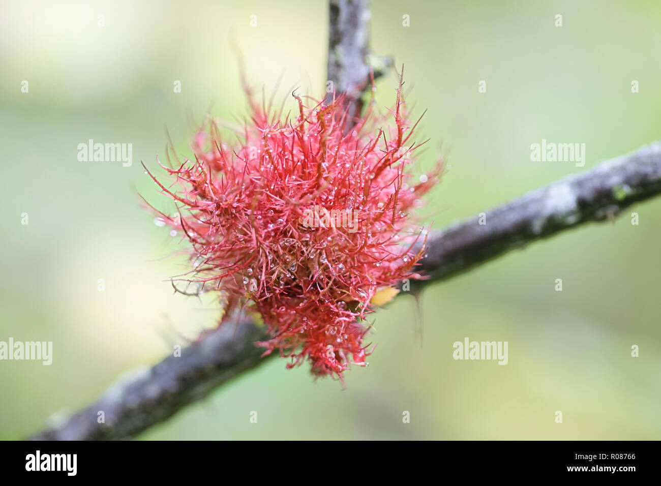 Gall known as the rose bedeguar gall, Robin's pincushion, or moss gall is caused by a hymenopteran gall wasp, Diplolepis rosae - Stock Image