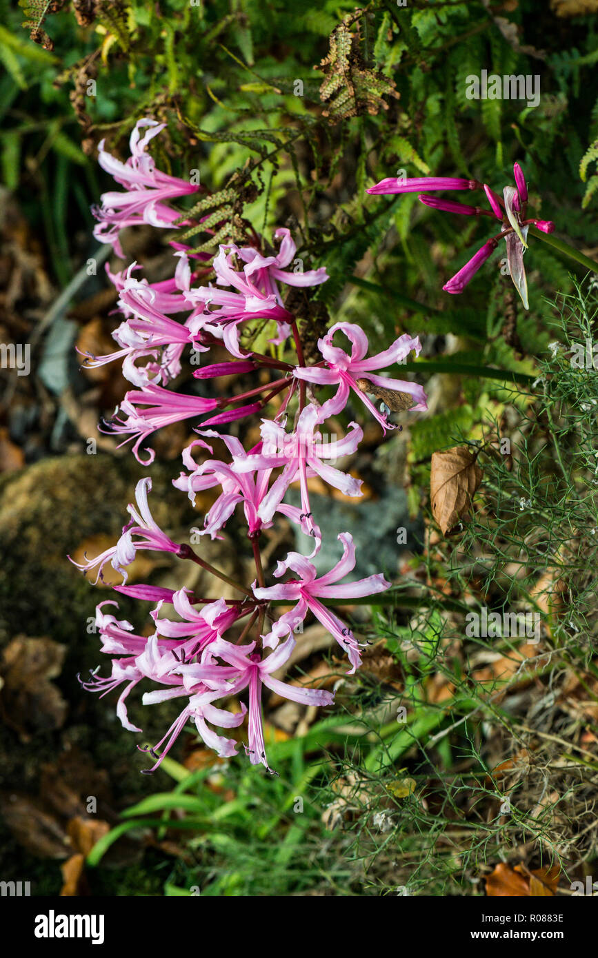 The pink flowers of a spider lily Nerine) - Stock Image
