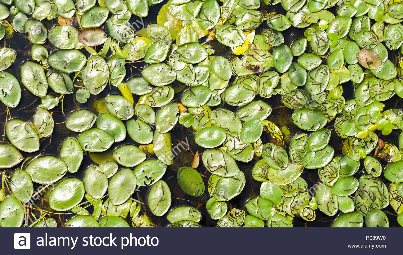 Lily Pads at Mer Bleue - Stock Image