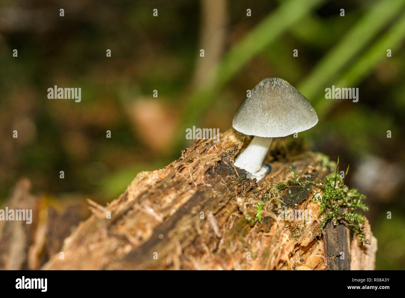 Lone mushroom with moss on the dead trunk of a tree - Stock Image