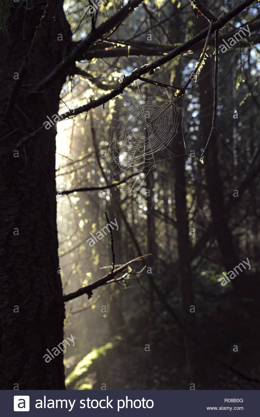 Spiderweb illuminated in the forest on Vancouver Island on a gorgeous cool morning. - Stock Image