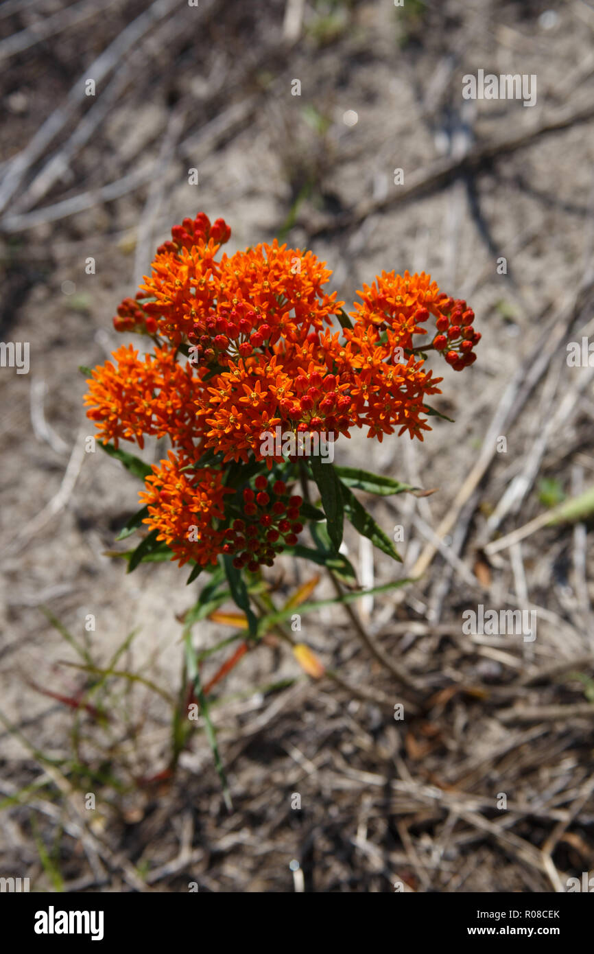 Red Butterfly Milkweed Asclepias Curassavica Red: Asclepias Tuberosa Stock Photos & Asclepias Tuberosa Stock