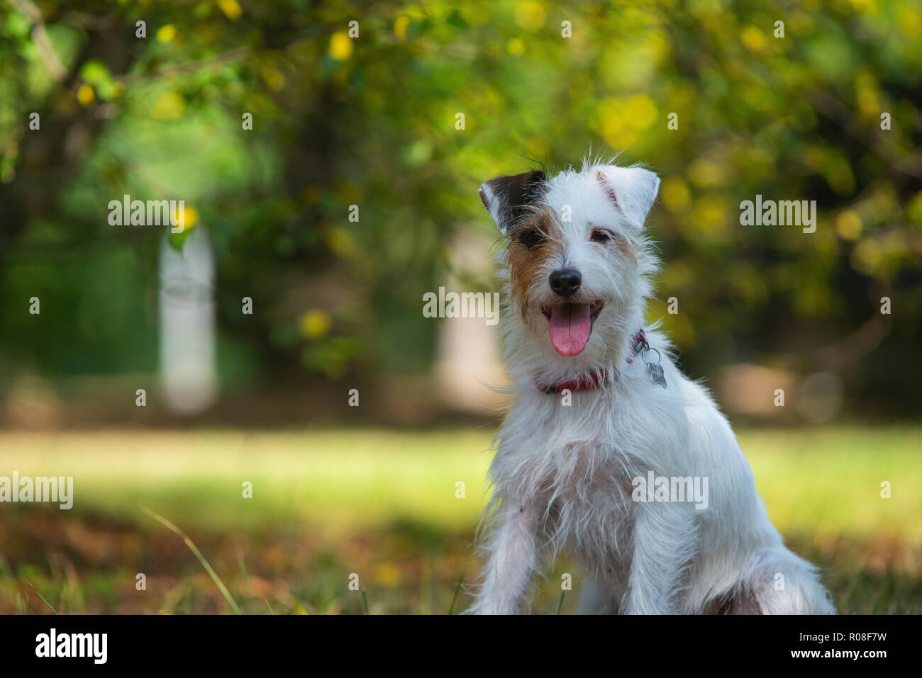 Portrait of a Parson Russell Terrier in a city park - Stock Image