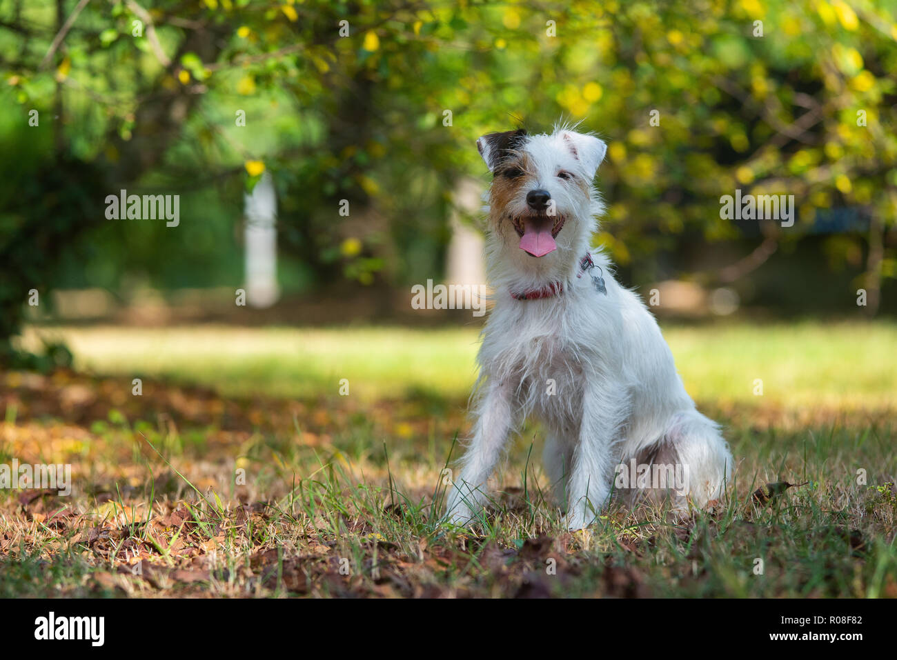 Parson Russell Terrier sitting in a city park - Stock Image