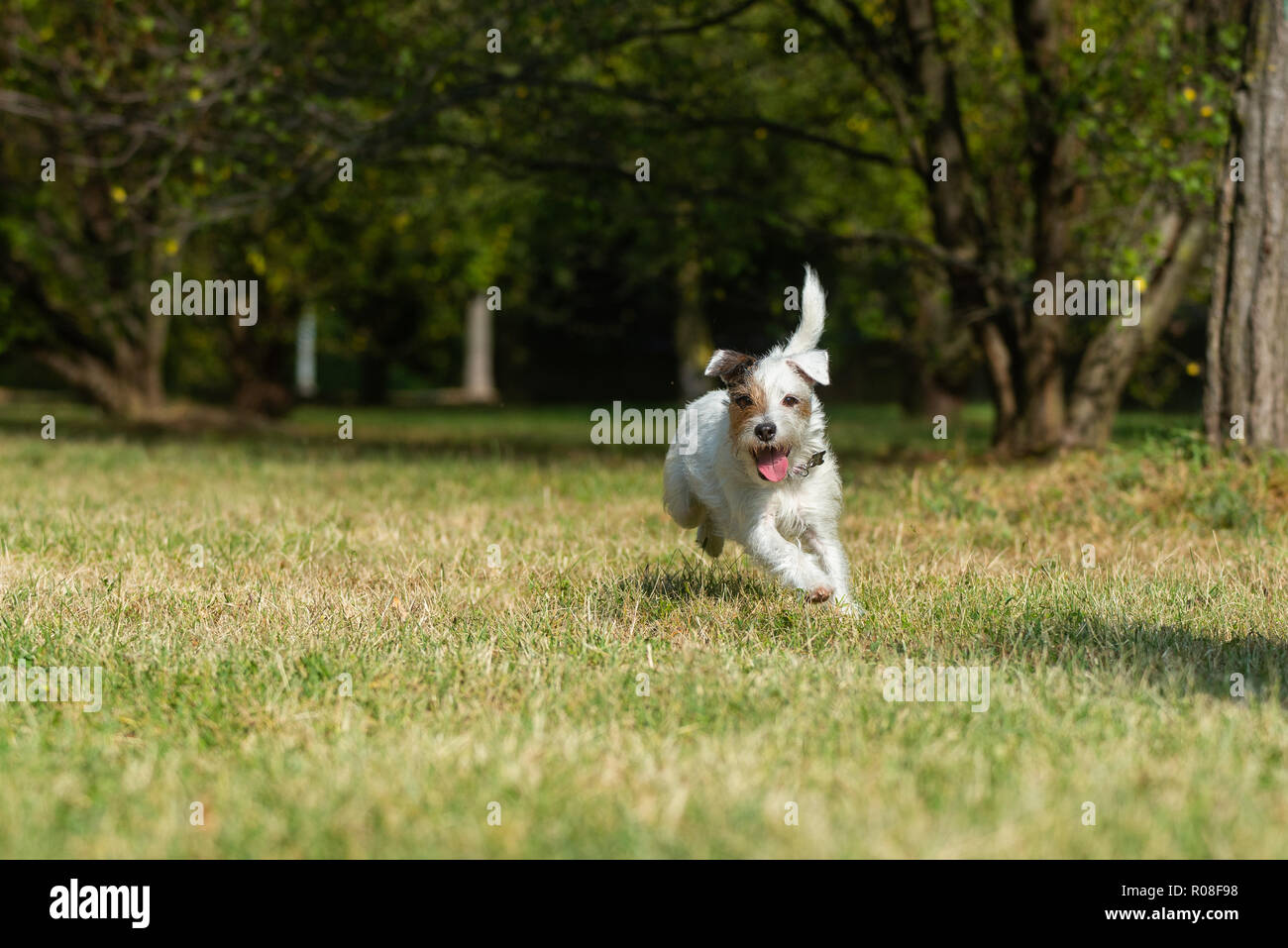 Parson Russell Terrier running very fast in a city park - Stock Image