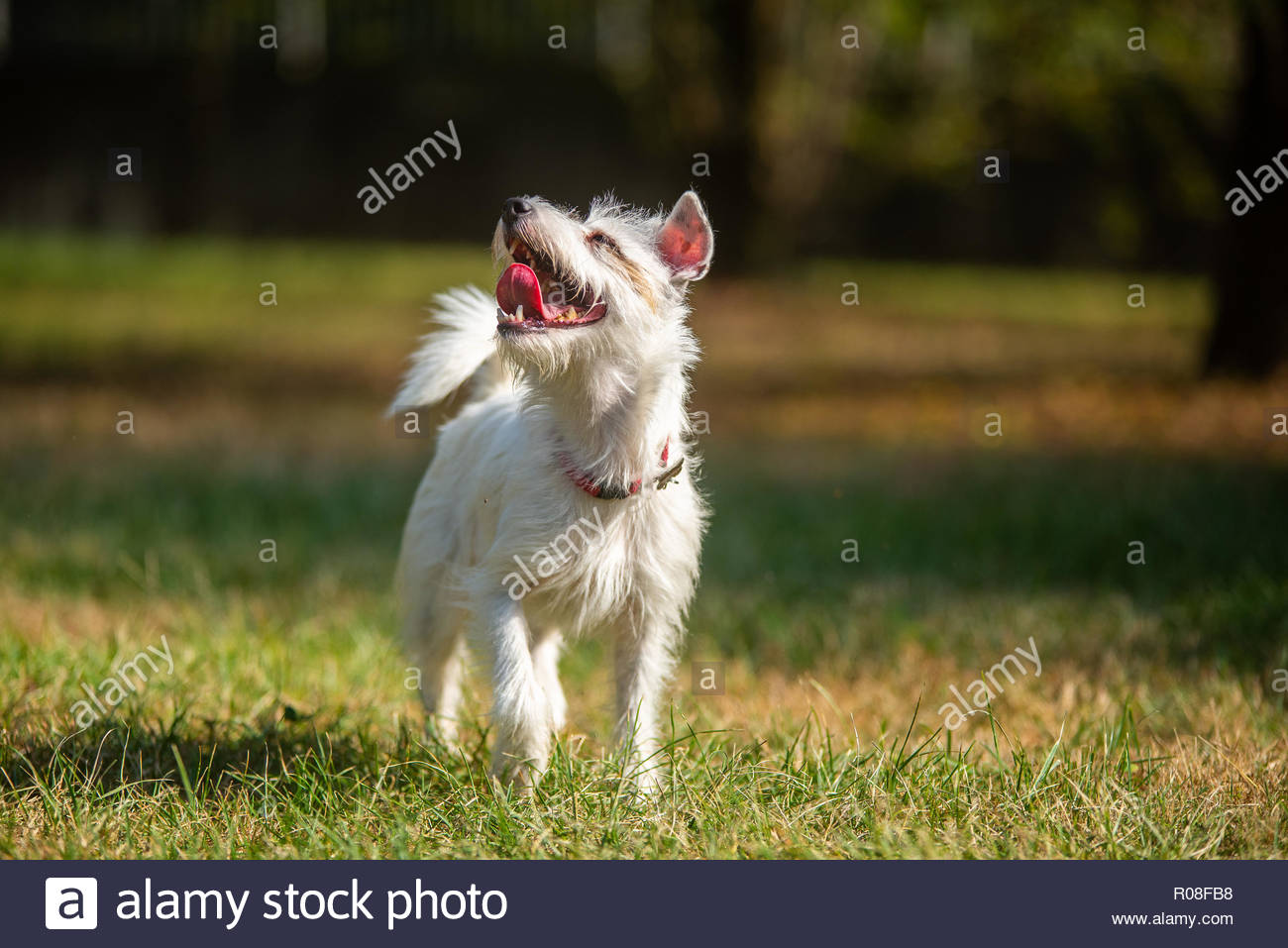 Parson Russell Terrier walking and looking up towards owner - Stock Image