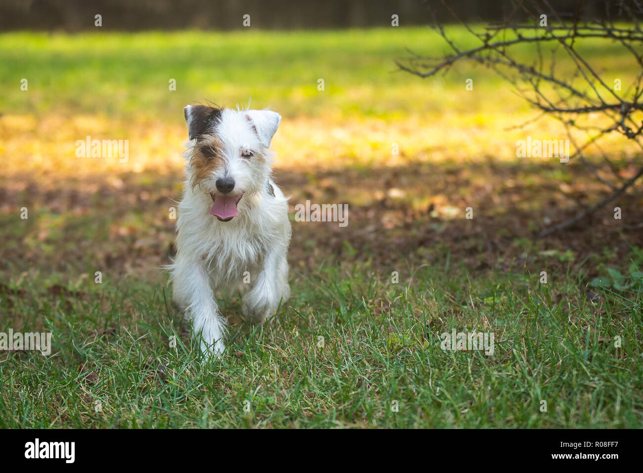 Happy Parson Russell Terrier in a field - Stock Image