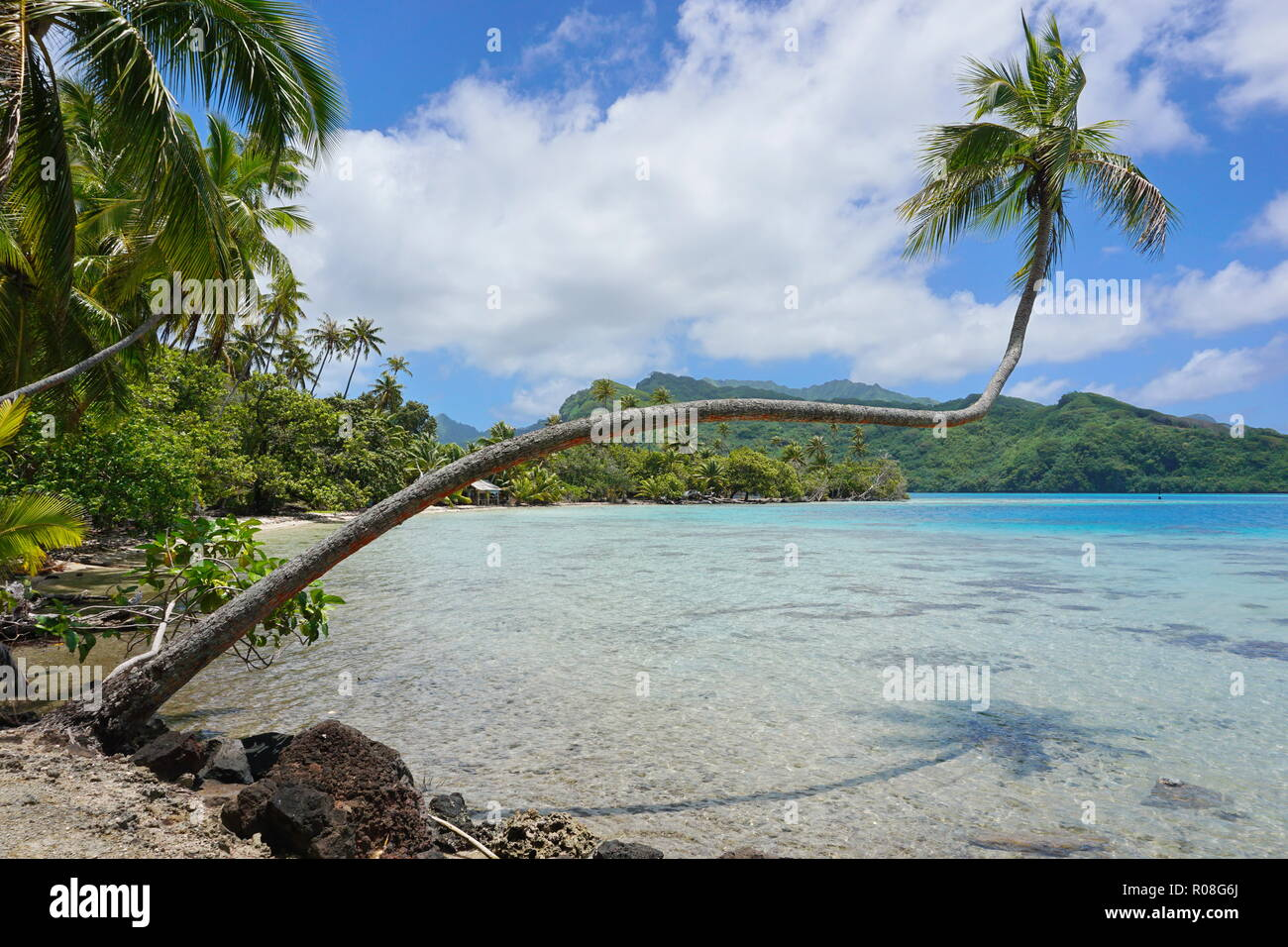 Tropical seascape, a coconut palm tree leans over clear water in French Polynesia, Huahine island, south Pacific ocean - Stock Image
