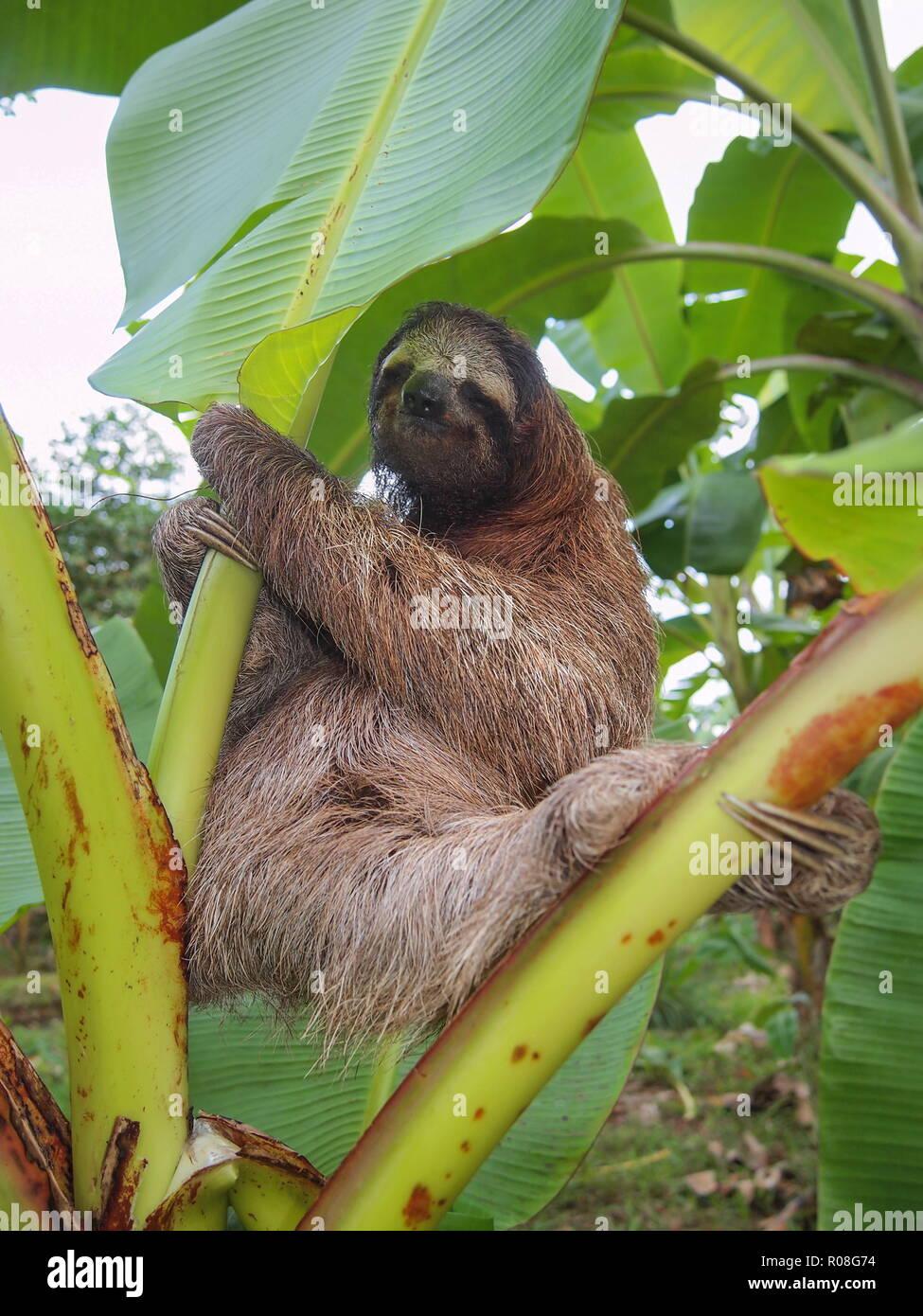 A three toed sloth Bradypus variegatus on a banana tree, Costa Rica, Central America Stock Photo