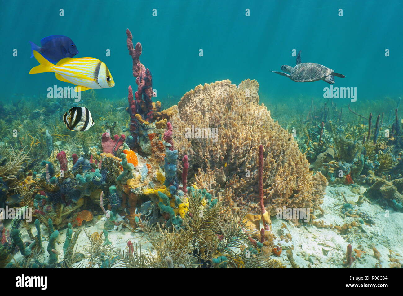 Colorful marine life in a coral reef of the Caribbean sea underwater, sea sponges with tropical fish and a turtle in background Stock Photo