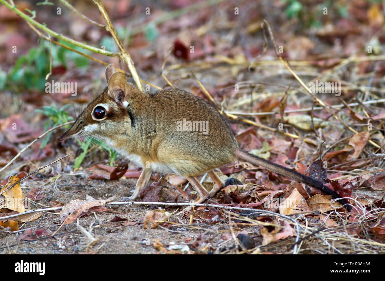 The Four-toed Elephant Shrew or Senji is a diminutive but extremely active hunter of invertibrates running along the regularly patrolled and cleared p - Stock Image