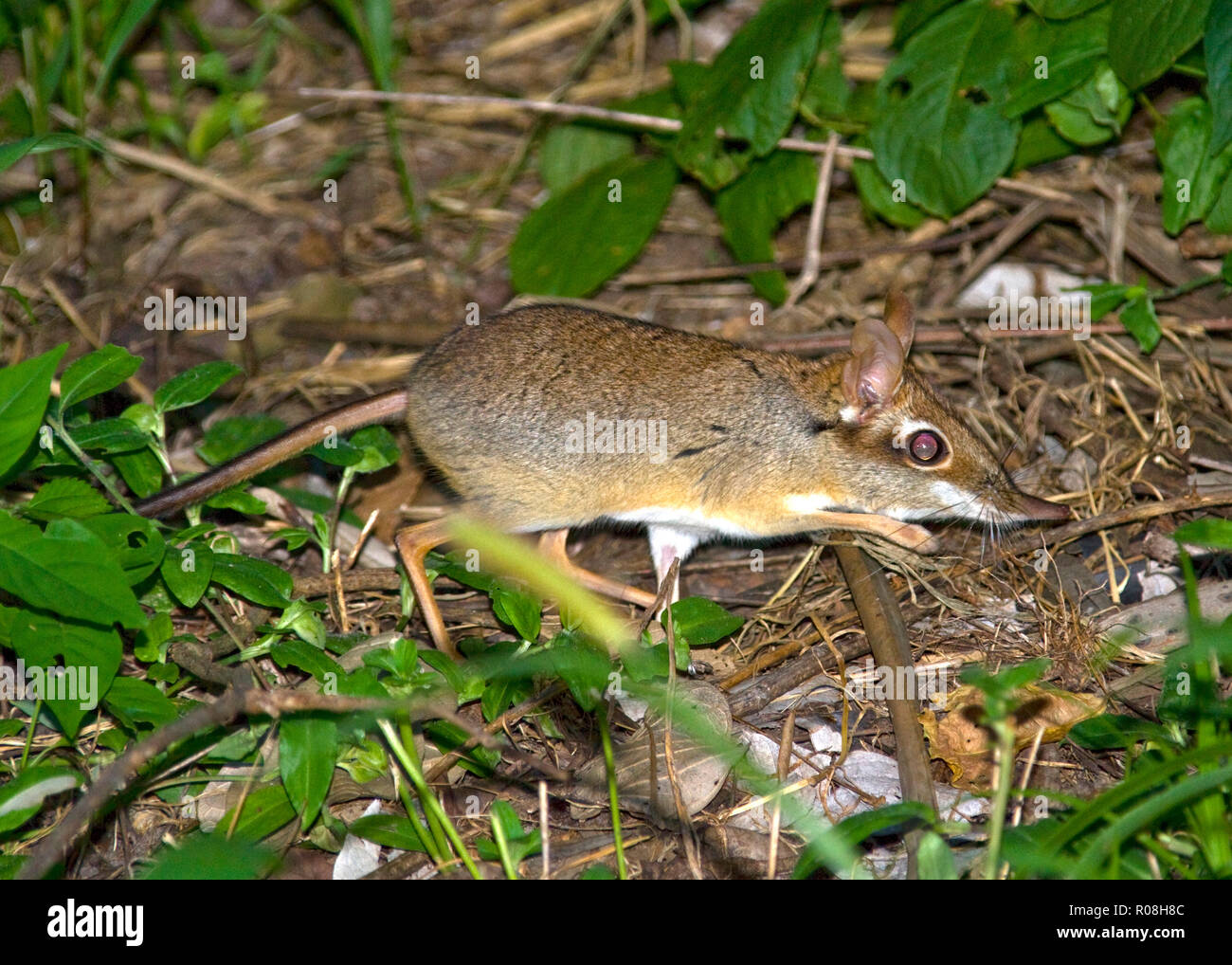 A crepuscular insectivora the Senji or Elephant Shrew is an active hunter of insects and invertebrates and relies on a rich leaf litter and series of  - Stock Image