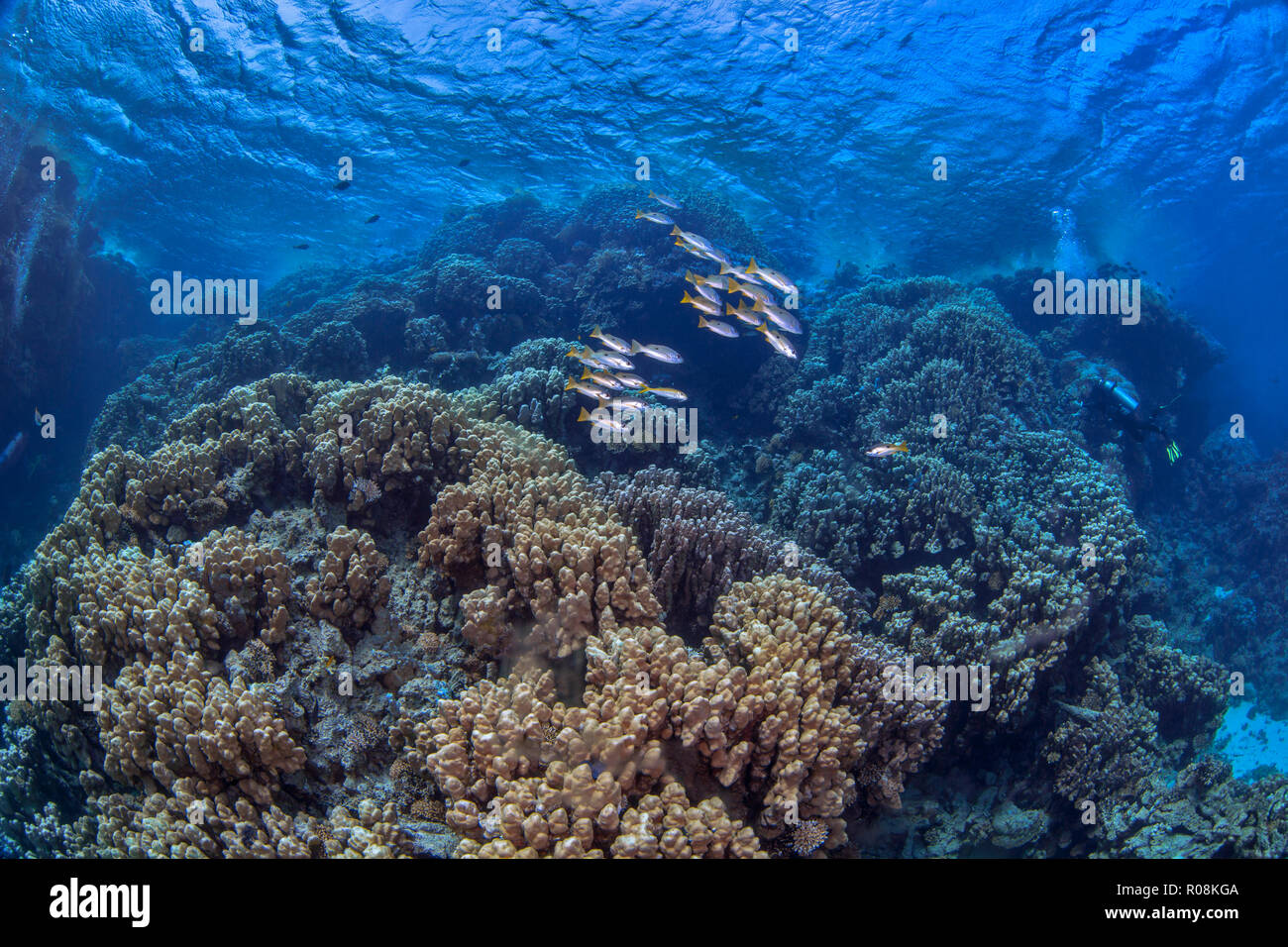Scuba divers explore mountainous coral reef formations in the Red Sea. Stock Photo