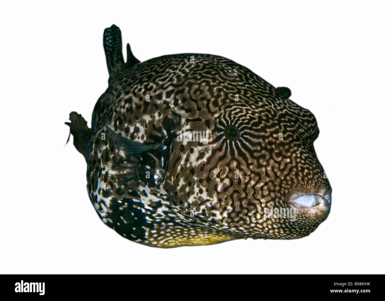 Large map pufferfish on white background. Ambon, Indonesia Stock Photo