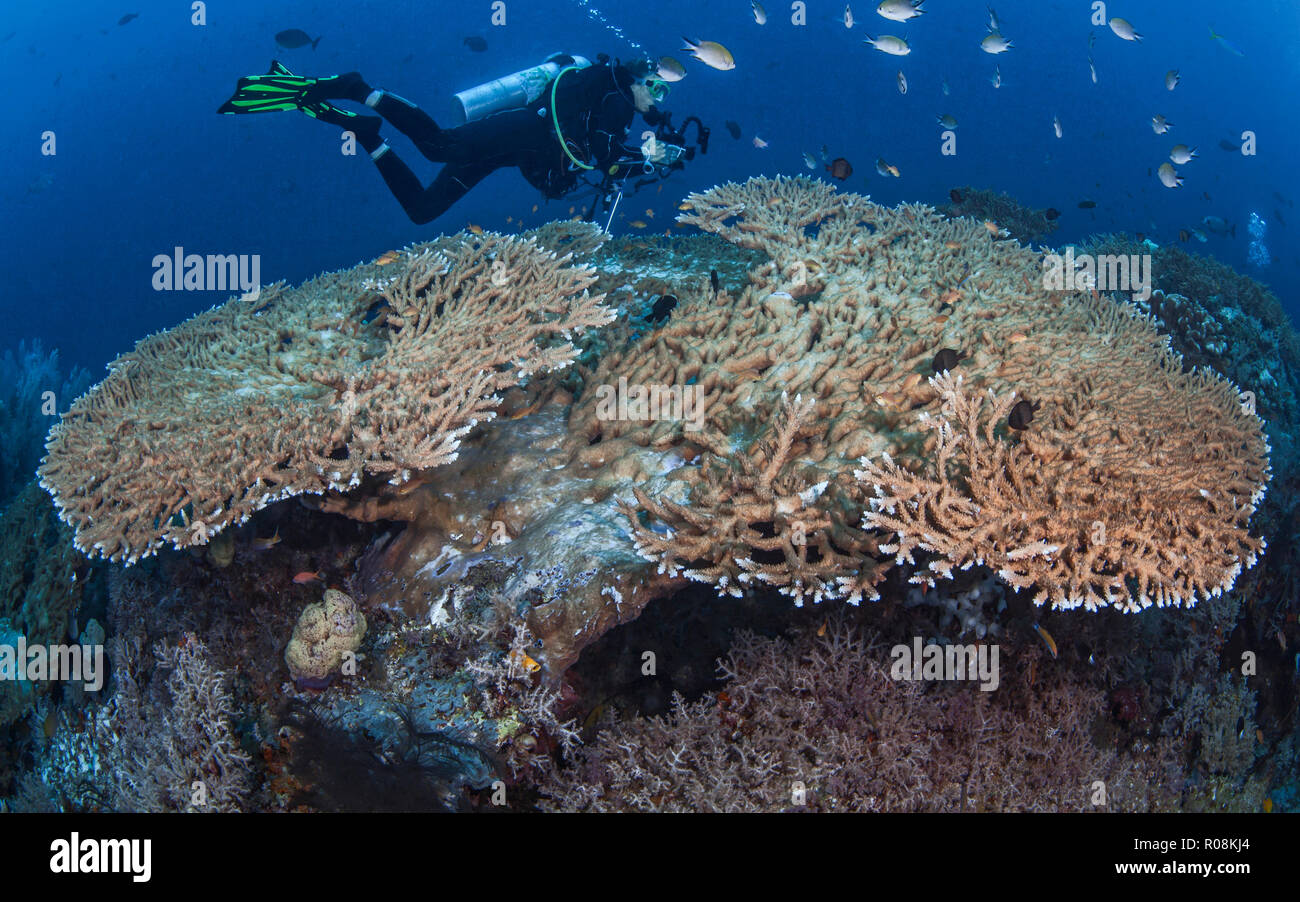 Female scuba diver, underwater photographer and videographer records marine life activity on large Acropora table corals. Raja Ampat, Indonesia. April Stock Photo
