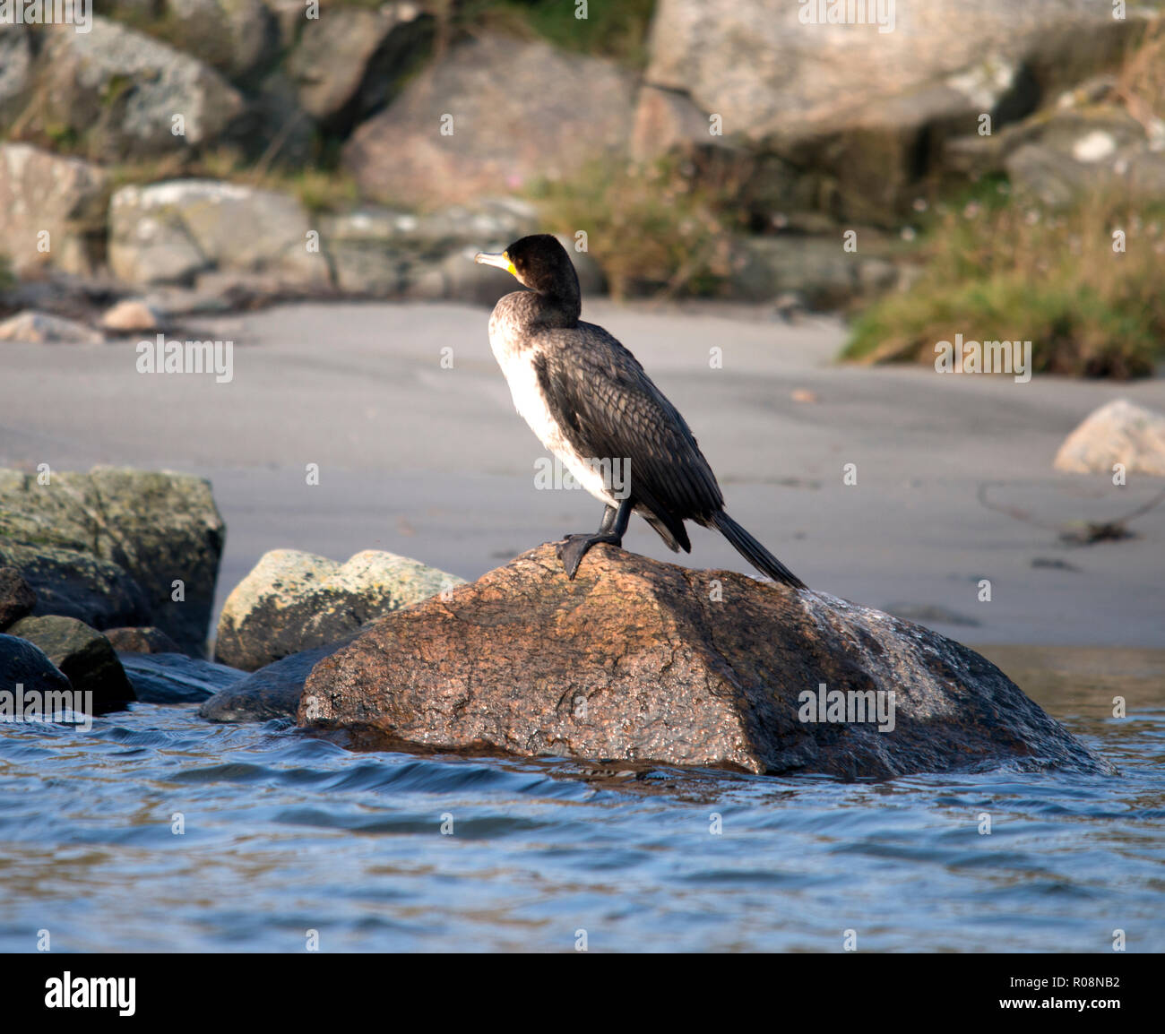 Bird, Birds, Aves, endothermic, vertebrates, feathers, toothless, beaked, jaws, eggs, metabolic, tetrapods, wings, fly, penguins, waterbirds, Swans, A - Stock Image
