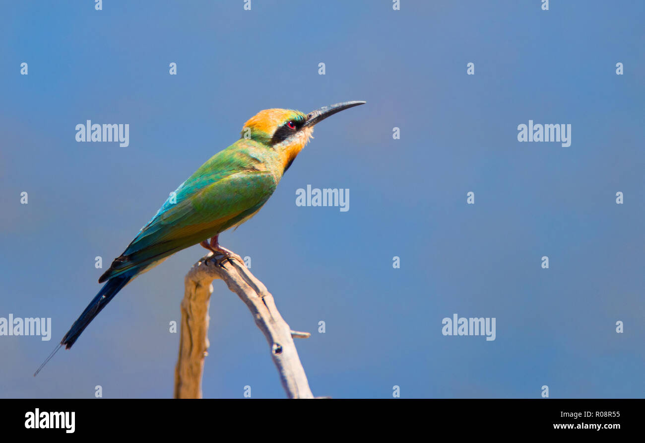 Rainbow Bee eater perched on a branch with a blue sky background and copy space - Stock Image