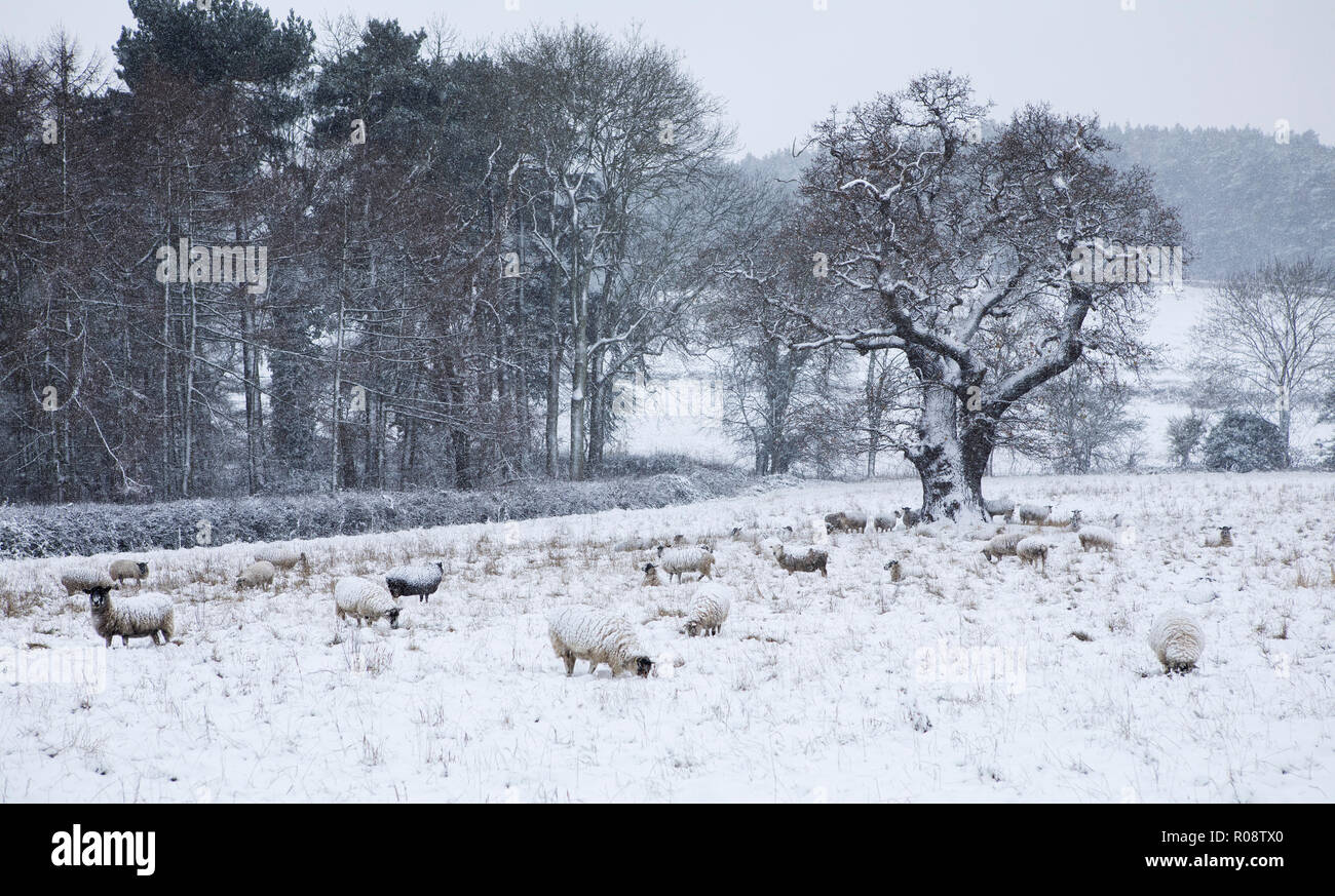Flock of sheep in a snow storm Stock Photo